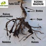 Rizoma Magnum
