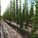 plantacion lupulo
