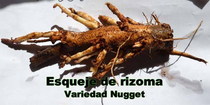 Esqueje de rizoma Nugget