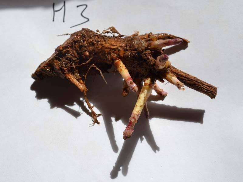 Esqueje de rizoma de H3