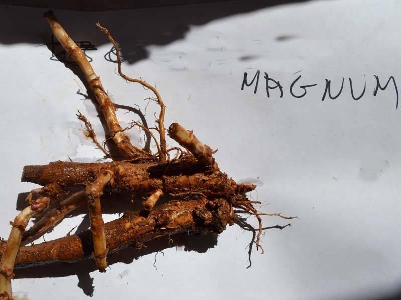 Esqueje de rizoma de Magnum