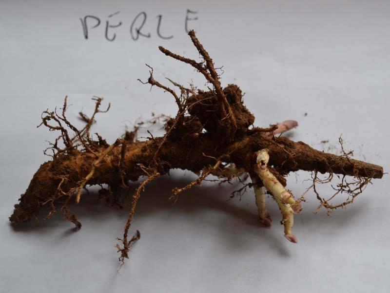 Esqueje de rizoma Perle