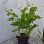Planta de lúpulo en maceta