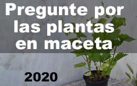 plantas maceta lúpulo