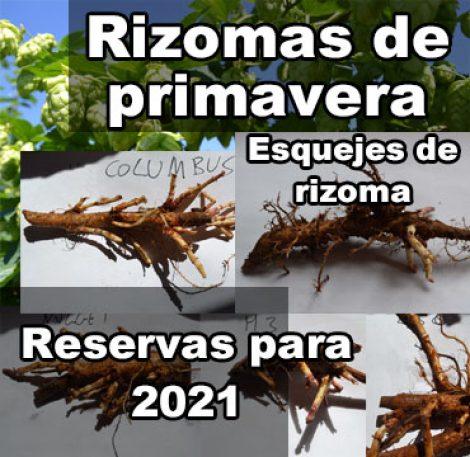 rizomas de primavera esquejes de rizoma