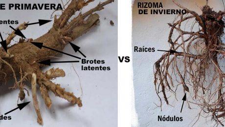 rizomas de lúpulo primavera e invierno