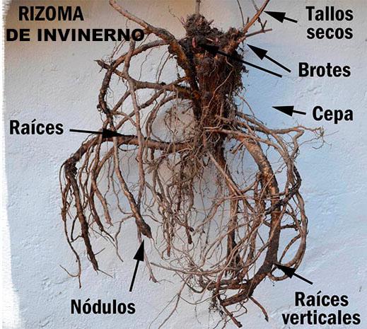 rizoma de lúpulo de invierno